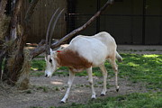 Washington Prints - Scimitar Horned Oryz - National Zoo - 01132 Print by DC Photographer