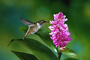 Epiphyte Photo Posters - Scintillant Hummingbird Selasphorus Poster by Michael and Patricia Fogden