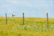 Flycatcher Digital Art - Scissor-Tail in the Prairie by Sonya Petre