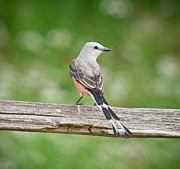 Flycatcher Photos - Scissortail On Rail by Robert Frederick
