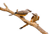 Flycatcher Art - Scissortails Sharing Cricket by Robert Frederick