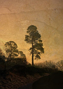 Liz  Alderdice - Scots Pine