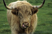 Kyloe Posters - Scottish Highland cattle Poster by Jim  Wallace