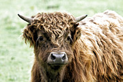 Athena Mckinzie - Scottish Highland Cow