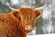 Scottish Highland Cow Print by Michael Allen