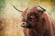 Scottish Highland Steer Print by Steve McKinzie
