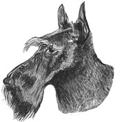 Charcoal Dog Drawing Drawings Posters - Scottish Terrier Dog Poster by Catherine Roberts