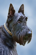 Blue Grey Posters - Scottish Terrier Dog Poster by Jennie Marie Schell