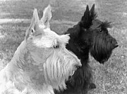 Terriers Framed Prints - Scottish Terrier Dogs Black and White Framed Print by Jennie Marie Schell