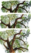 Trio Prints - Scottys Castle Oak Tree Print by Will Borden