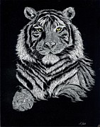 Scratchboard Paintings - Scratchboard Tiger by Adam Peot