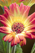 Multicolored Daisy Prints - Scratched Gerber Daisy Print by Bill Tiepelman