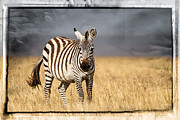 Rhinoceros Framed Prints - Scratched tin zebra Framed Print by Mike Gaudaur