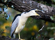 Screaming Posters - Screaming Night Heron Poster by Kenneth Albin