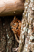 Aves Prints - Screech Owl 5 Print by Douglas Barnett