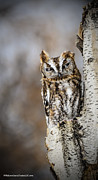 LeeAnn McLaneGoetz McLaneGoetzStudioLLCcom - Screech Owl checking you...
