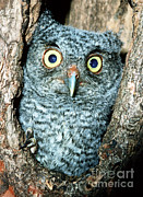 Baby Bird Prints - Screech Owl Chick Print by Millard H. Sharp