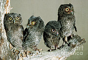 Baby Bird Prints - Screech Owl Chicks Print by Millard H. Sharp