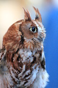 Morph Framed Prints - Screech Owl Glance Framed Print by Heather Mitchell