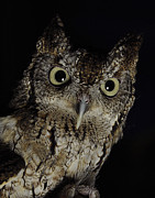 Keith Lovejoy - Screech Owl