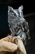 Lindy Brown - Screech Owl