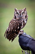 Barn Pen And Ink Photo Posters - Screech Owl Perched Poster by Athena Mckinzie