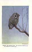 Audubon Drawings Posters - Screech Owl Poster by Philip Ralley