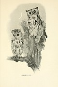 Audubon Drawings Posters - Screech Owls Poster by Philip Ralley