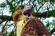 Red Tail Hawk Photo Photos - Screecher by Michelle Milano