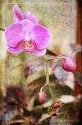 Joan Bertucci - Scripted Orchid