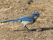 Bob and Jan Shriner - Scrub Jay