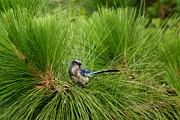 Pine Needles Photo Originals - Scrub Jay in the Pine by Patricia Twardzik