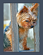 Toy Breeds Posters - Scruffy Yorkie Poster by Donna Proctor
