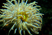 Entrap Framed Prints - Sea Anemone Framed Print by Mike Flynn