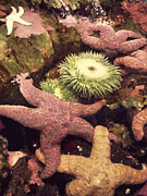 Sea Animals Art - SEA ANEMONES and STARFISH by Daniel Hagerman