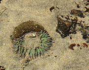 California Tourist Spots Prints - Sea Anenome Half Buried in the Sand Print by Author and Photographer Laura Wrede