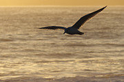 Flying Seagull Posters - Sea Bird in Flight Poster by Paul Topp