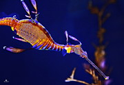 Sea Horse Photos - Sea Dragon by Russ Harris