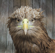 Roy Mcpeak Prints - Sea Eagle 11 Print by Roy McPeak