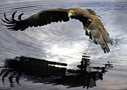 Roy Mcpeak Prints - Sea Eagle eyeing up dinner II Print by Roy McPeak