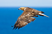 Air Born Prints - Sea Eagle in flight 5 Print by Michael  Nau