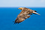 Air Born Prints - Sea Eagle in flight 8 Print by Michael  Nau