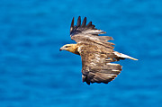 Air Born Prints - Sea Eagle in flight 9 Print by Michael  Nau