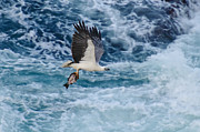 Rough Sea Framed Prints - Sea Eagle with catch 5 Framed Print by Michael  Nau