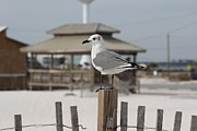 Panama City Beach Posters - Sea gull 1 Poster by Michelle Powell
