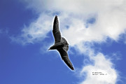 James Ahn - Sea Gull - 8372 - F