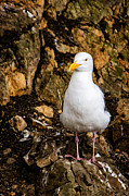 Bird At Sea Photos - Sea Gull by Jon Berghoff