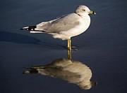 Sea Gull Reflection Print by Thomas Photography  Thomas