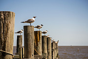 Andrew Rostek Prints - Sea Gulls 1 Print by Andrew Rostek