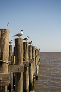 Andrew Rostek Metal Prints - Sea Gulls 2 Metal Print by Andrew Rostek